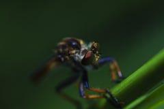 στενά ακραία έντομα μυγών άλλος αρπακτικός ληστής επάνω Στοκ Εικόνες