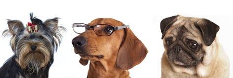 στενά γυαλιά σκυλιών επάν&om Στοκ Εικόνα