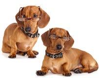στενά γυαλιά σκυλιών dachshund ε&p Στοκ Εικόνες