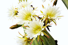 στενά λουλούδια κάκτων &epsil Στοκ Φωτογραφίες