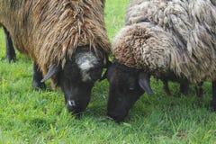 στενά πρόβατα δύο Στοκ Φωτογραφία