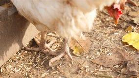 στενά πόδια κοτόπουλου που αυξάνονται Κινηματογράφηση σε πρώτο πλάνο φιλμ μικρού μήκους