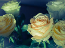 στενά τριαντάφυλλα ανθο&delt Στοκ φωτογραφίες με δικαίωμα ελεύθερης χρήσης