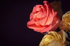 στενά τριαντάφυλλα ανθο&delt Στοκ φωτογραφία με δικαίωμα ελεύθερης χρήσης