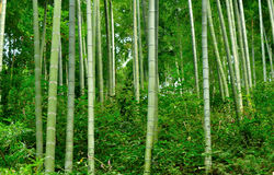 στενά φυσικά δέντρα μπαμπού ανασκόπησης επάνω Στοκ Φωτογραφίες