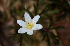 Στενή άποψη ένα άσπρο nemorosa anemone windflower στην άνθιση Στοκ Φωτογραφία