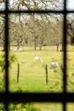 Στενή άποψη ενός λιβαδιού με τις αγελάδες μέσω του παραθύρου σπιτιών αγροκτημάτων Στοκ Εικόνες