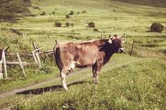 στενή αγελάδα το γαλακτοκομικό επικεφαλής s επάνω Θερινός πράσινος χορτοτάπητας 7 ζωικές σειρές αγροτικής απεικόνισης κινούμενων  Στοκ Εικόνες