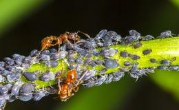 στενή ακραία υψηλή ενίσχυση μυρμηγκιών aphids επάνω Στοκ εικόνες με δικαίωμα ελεύθερης χρήσης