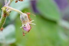 στενή ακραία υψηλή ενίσχυση μυρμηγκιών aphids επάνω Στοκ φωτογραφία με δικαίωμα ελεύθερης χρήσης
