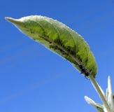 στενή ακραία υψηλή ενίσχυση μυρμηγκιών aphids επάνω Στοκ Φωτογραφίες