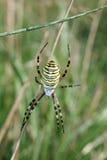 στενή αράχνη επάνω στη σφήκα Στοκ Εικόνες