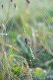 στενή αράχνη επάνω στον Ιστό Στοκ φωτογραφία με δικαίωμα ελεύθερης χρήσης