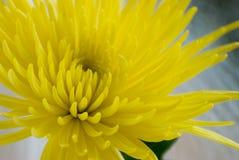 στενή αράχνη λουλουδιών mum επάνω Στοκ εικόνες με δικαίωμα ελεύθερης χρήσης