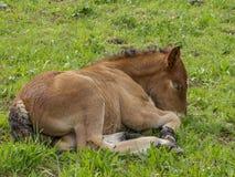 Στενή εικόνα foal των Αρδεννών που βρίσκεται στη χλόη στοκ φωτογραφία με δικαίωμα ελεύθερης χρήσης