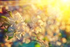 Στενή επάνω άποψη ανθών δέντρων της Apple σχετικά με το θολωμένο υπόβαθρο με τον ήλιο Στοκ Φωτογραφίες
