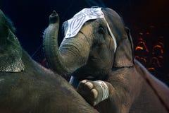 Στενή επάνω λεπτομέρεια ελεφάντων τσίρκων Στοκ Φωτογραφία