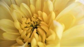 Στενή επάνω κίτρινη μακροεντολή ανθοδεσμών λουλουδιών χρυσάνθεμων στοκ φωτογραφία