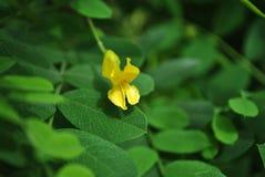 Στενή επάνω λεπτομέρεια λουλουδιών ακακιών κίτρινη μικρή, μαλακό υπόβαθρο στοκ φωτογραφία