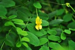 Στενή επάνω λεπτομέρεια λουλουδιών ακακιών κίτρινη μικρή, μαλακό υπόβαθρο στοκ εικόνες με δικαίωμα ελεύθερης χρήσης