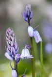 Στενή λεπτομέρεια ενός μπλε λουλουδιού υάκινθων στοκ εικόνα