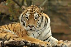στενή ηλιόλουστη τίγρη πορτρέτου ημέρας επάνω Στοκ Φωτογραφία
