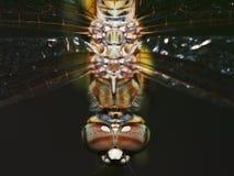 στενή λιβελλούλη επάνω Στοκ Εικόνα