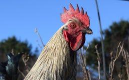 στενή κότα επάνω Στοκ εικόνες με δικαίωμα ελεύθερης χρήσης