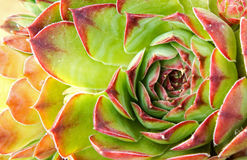 στενή κότα crassulaceae νεοσσών επάνω στοκ φωτογραφίες