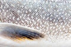 στενή πέστροφα δερμάτων salvelinus &lamb Στοκ εικόνα με δικαίωμα ελεύθερης χρήσης