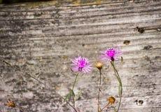 στενή πορφύρα λουλουδιών επάνω στοκ εικόνες