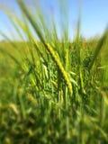 στενή πράσινη σίκαλη πεδίων επάνω στοκ εικόνα με δικαίωμα ελεύθερης χρήσης
