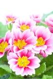 στενή ρόδινη άνοιξη λουλο& Στοκ εικόνες με δικαίωμα ελεύθερης χρήσης