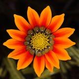 στενή σειρά gazania λουλουδιώ στοκ φωτογραφία