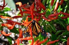 Στενή φωτογραφία της πεταλούδας μοναρχών Στοκ φωτογραφία με δικαίωμα ελεύθερης χρήσης