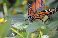 Στενή φωτογραφία της πεταλούδας μοναρχών Στοκ Εικόνα