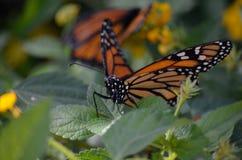 Στενή φωτογραφία της πεταλούδας μοναρχών Στοκ Εικόνες