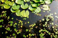 Στενή φωτογραφία των κρίνων σε μια λίμνη στοκ εικόνες