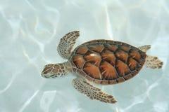 στενή χελώνα επάνω στο ύδωρ Στοκ Εικόνες