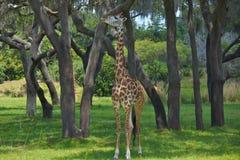 στενή giraffe επικεφαλής φύση επάνω Στοκ Εικόνες