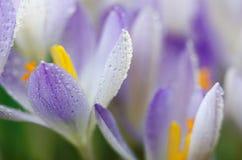 Στενοί μικροί κρόκοι λουλουδιών άνοιξη φωτογραφιών Στοκ φωτογραφία με δικαίωμα ελεύθερης χρήσης