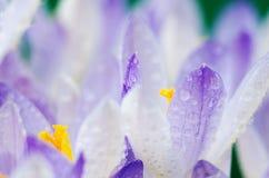 Στενοί μικροί κρόκοι λουλουδιών άνοιξη φωτογραφιών Στοκ Εικόνες