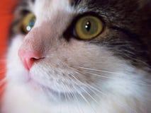 Στενός ένας επάνω γάτες οδοντώνει τη μύτη Στοκ Εικόνα