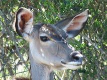 Στενός ένας επάνω ενός θηλυκού Kudu Στοκ Εικόνες