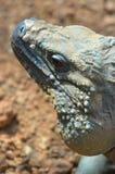 Κλείστε επάνω του iguana Στοκ Εικόνες