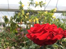 Στενός ένας επάνω κοιτάζει του ροδαλού λουλουδιού στοκ φωτογραφία