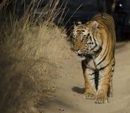 Στενός ένας επάνω μιας αρσενικής τίγρης της Βεγγάλης που χαρακτηρίζει το έδαφός του Στοκ Εικόνες