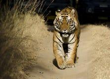 Στενός ένας επάνω μιας αρσενικής τίγρης της Βεγγάλης Στοκ Φωτογραφίες