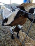 Στενός ένας επάνω μιας εκδρομικής κατσαρόλας goat& x27 πρόσωπο του s σε έναν φράκτη Στοκ φωτογραφία με δικαίωμα ελεύθερης χρήσης