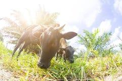 Στενός ένας επάνω μιας τοπικής αγελάδας ` s σε Pahang, Μαλαισία Στοκ φωτογραφία με δικαίωμα ελεύθερης χρήσης